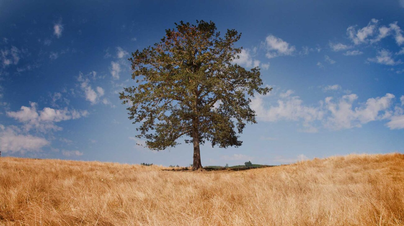 A solitary tree in a field