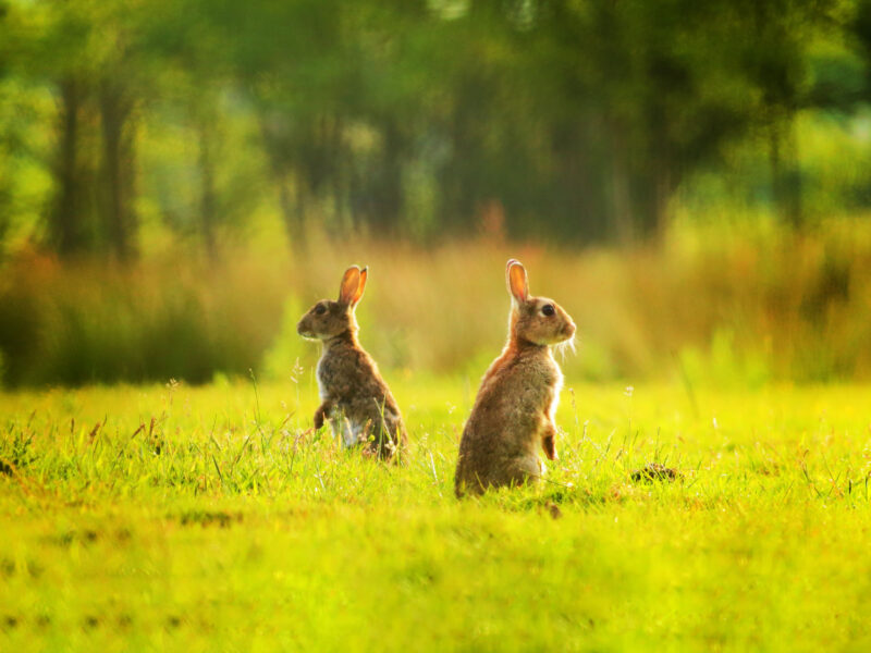 Hares Sitting upright in a field