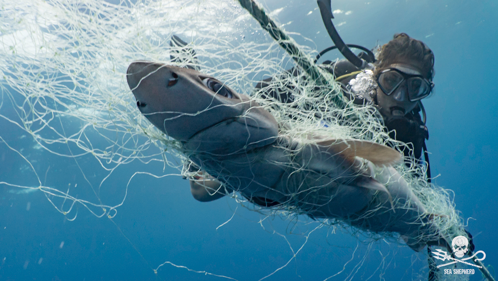 Sea Shepherds diver freeing a shark from a ghost net left in the sea