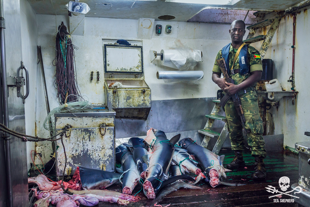 A soldier from the african island São Tomé and Príncipe standing next to an illegal catch of sharks.