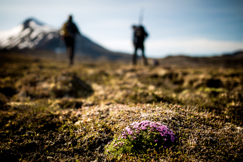 Low mosses and flowers on a hiking trail in East Greenland Photo credit: Mads Pihl - Visit Greenland