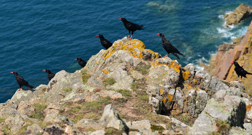 The rare chough a symbol of Cornwall which sits atop the county's coat of arms.