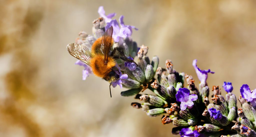The Carder bee is the most common of the three ginger bee species in the UK.