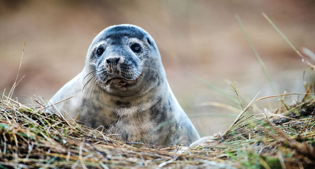 Grey Seals, famous on the lincolnshire coast but one of the rarest in the world.