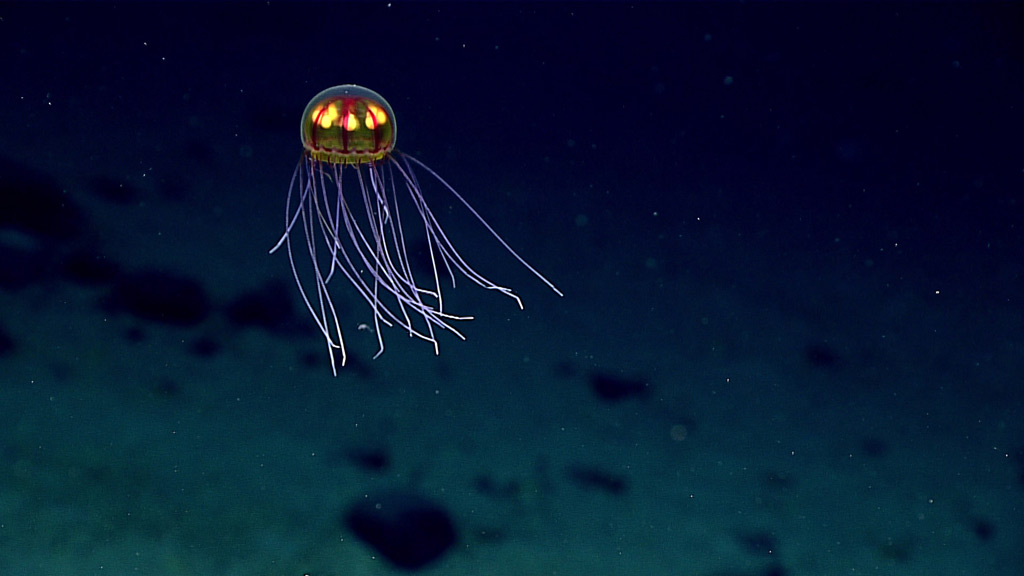 """A hydromedusa seen during a dive in the Marianas Trench Marine National Monument on April 24, 2016, while exploring the informally named """"Enigma Seamount"""" at a depth of 3,700 meters. Image credit: NOAA Office of Ocean Exploration and Research, 2016 Deepwater Exploration of the Marianas."""